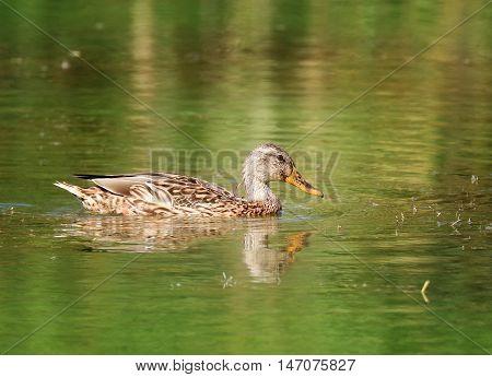 Close-up of a Wild Duck Bird, Mallard Duck (Anas platyrhynchos ) floats on water.