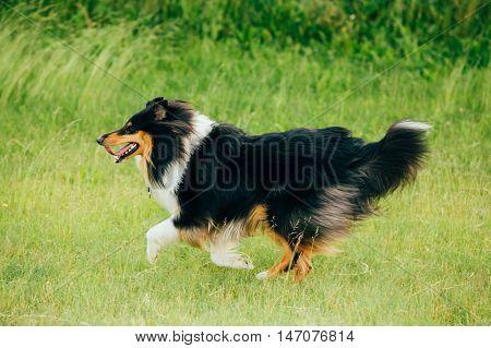 Shetland Sheepdog, Sheltie, Collie. Play Run Outdoor In Summer Grass At Evening