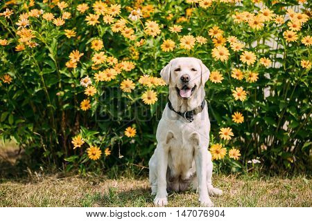 Smiling With Tongue, Staring Eyes Yellow Golden Labrador Adult Female Dog Sitting Posing On The Trimmed Lawn Of Garden. The Bright Yellow Flowers Background.