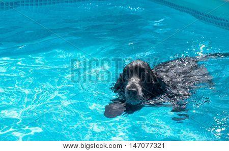 cocker spaniel dog English swimming in the pool