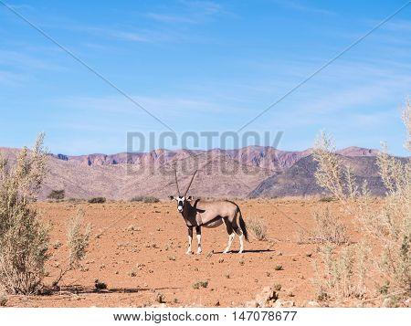 Single oryx gazelle (gemsbok) in Namibia Africa.