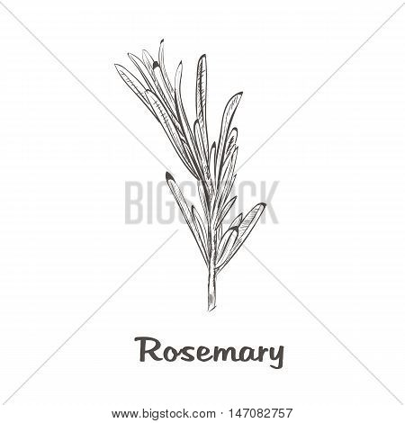 Rosemary sketch style. Vector illustration for your design. vector rosemary