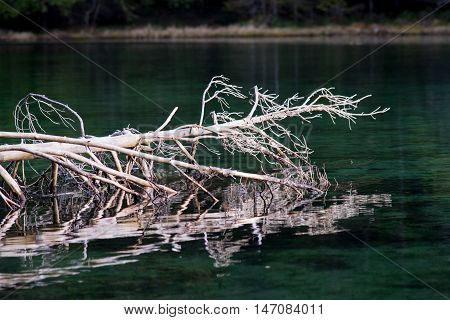 Blue spring lake and old tree stump fallen into water. Natural environment. Äntu Sinijärv Estonia Europe