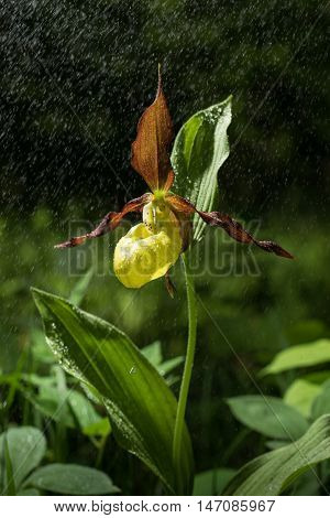 Lady's Slipper Orchid flower bloom in the rain. Yellow with red petals blooming blossom in natural environment. Cypripedium calceolus.