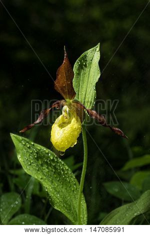 Ladys Slipper Orchid bloom after rain. Blossom and water drops. Yellow with red petals wet blooming flower in natural environment. Lady Slipper Cypripedium calceolus.