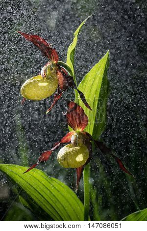 Lady's Slipper Orchid bloom in the pouring rain like snowing. Blossom and water drops like snow. Yellow with red petals blooming flower in natural environment. Cypripedium calceolus.