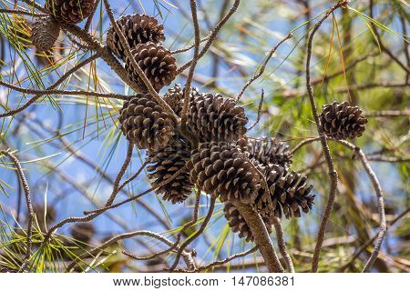 Close-up view of cedar pine cones on the tree the most common type of coniferous tree in the world