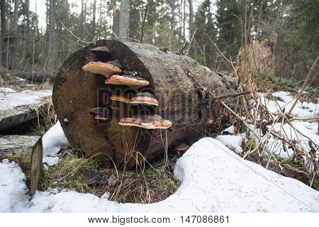 Fungus on the tree in natural environment. Mushroom and moss grows on the stump. Snowy forest spring background.