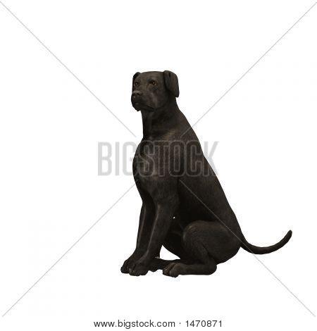 Black Labrador Retriever - 02