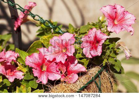 The pots grow beautiful pink petunia flowers