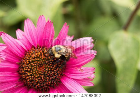 Bumble Bee On An Echinacea Flower