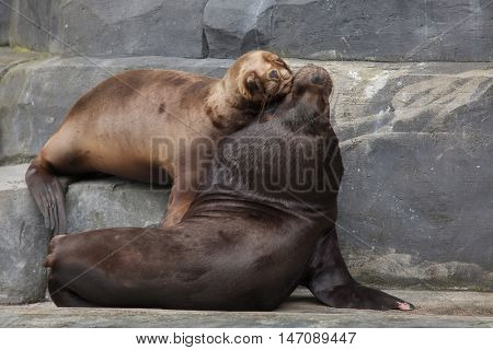 South American sea lion (Otaria flavescens). Wildlife animal.