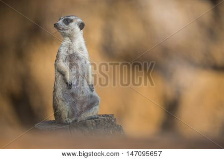 Watchful meerkat standing guard