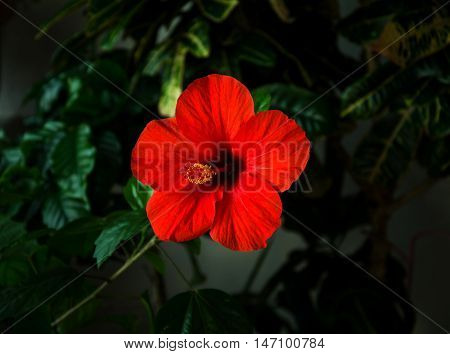 Red hibiscus flower with a pestle, stamens and green leaves on a dark background