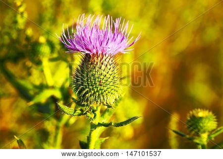 Musk Thistle or Nodding Thistle flower, Carduus nutans, close up