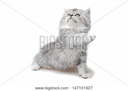 small tabby cat looking up, white background, isolated