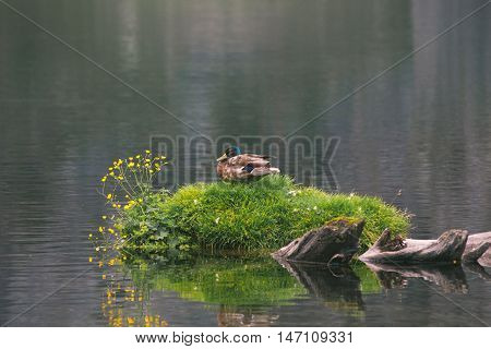 Wild duck sits on an island of grass surrounded by water