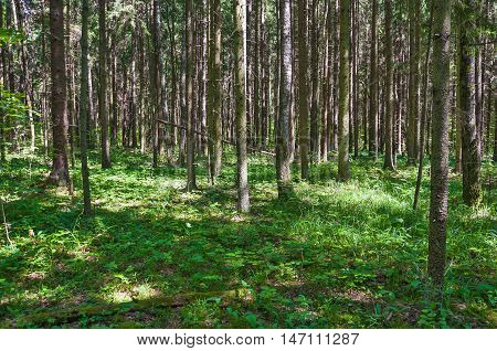 Spruce forest on a Sunny summer day. The sun's rays Shine through the trees