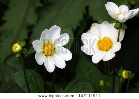 Beautiful White flowers in the garden. Flowers garden.