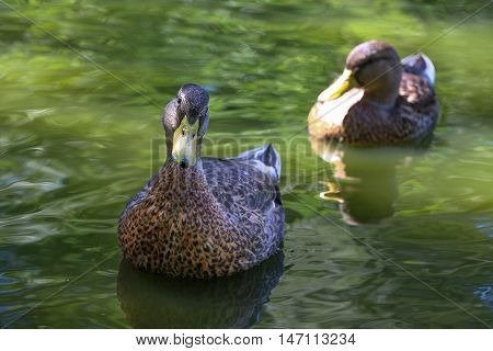 Ducks in water of lake. Animals. Birds.