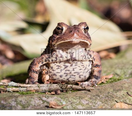 Front view of an American Toad (Anaxyrus americanus)