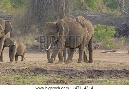 Male Indian Elephant along the Bank of the Kabini River in Nagorhole National Park in India