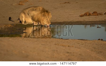 Well what a morning this turned out to be. On my last morning of Safari in the Sabi Sand we managed to catch this beautiful male lion drinking at a nearby dam. The light was perfect for reflections and it was always on my bucketlist to capture a big cat h