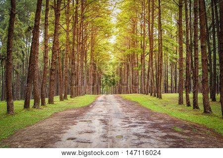 Suan Son Bor Kaew Pine Agroforestry Chiang Mai Thailand