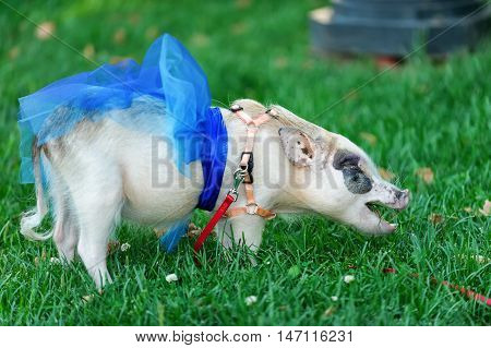 white mini pig with blue ribbon eating green grass