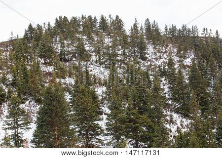 Snowy pine tree forest at Litang County Sichuan China