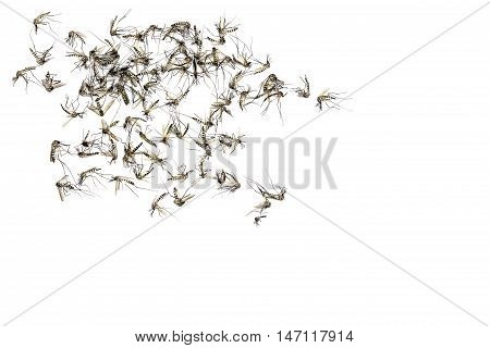 Close up Mosquito isolated on white background Top viewCopy space