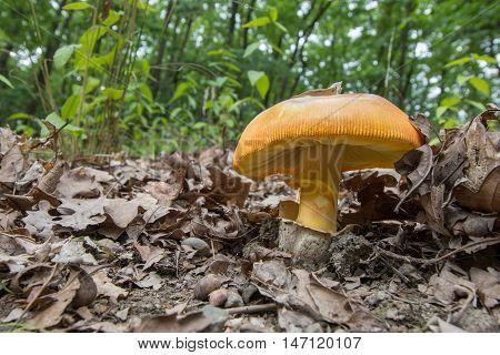 Bottom View On Caesar's Mushroom (amanita Caesarea) An Oak Forest