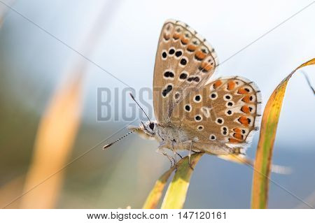 The Adonis Blue (polyommatus Bellargus) On A Blade Of Grass