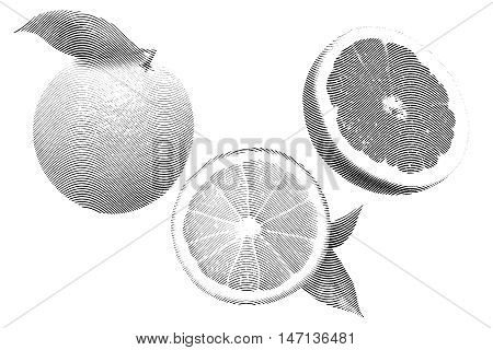 Drawn Sketch painting orange and grapefruit painting on white background. Illustration of fruit orange with leaves and grapefruit Black and white, vector