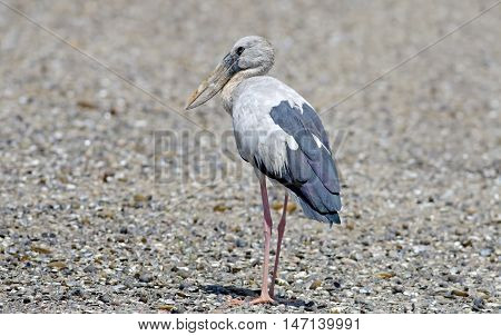 Open-billed stork Asian openbill Anastomus oscitans Birds of Thailand