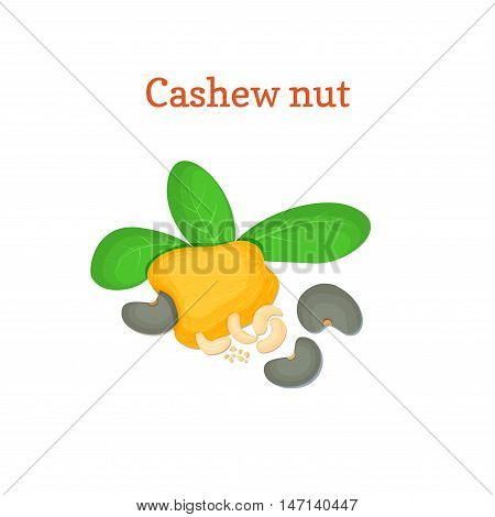 Vector illustration of a cashew nut. Appetizing cashew nut tree with yellow fruit, nuts and leaves on a white background. Elements of packaging design brochures on healthy eating