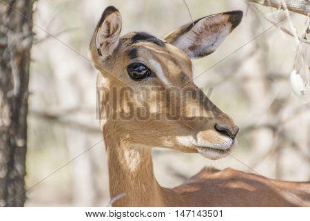 Impala Rooibok close up side big eye