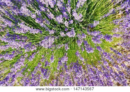purple blooming lavendula fields in valensole, provence