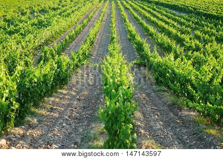 landscape of vineyard in chateauneuf du pape, france