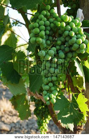 green grapes in a vineyard in chateauneuf du pape, france
