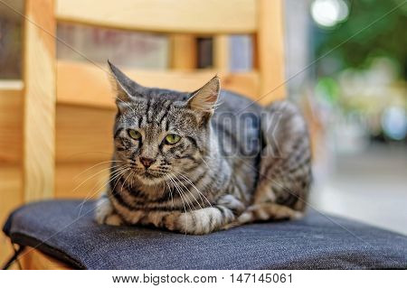 Adorable stray tabby cat standing on a chair seat pad