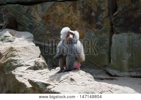Lonely and sad baboon on rocks in zoo