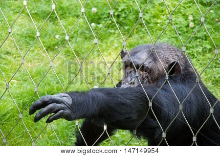 Sad and lonely chimpanzee in cage at zoo