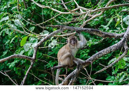 Macaque sitting on a mangrove tree. Macaca fascicularis.