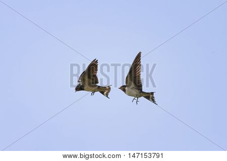 two birds swallows flying in the sky next to spread its wings