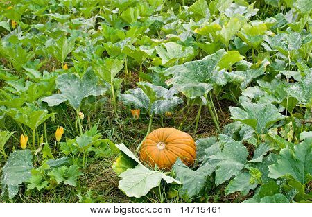 Pumpkin in Pumpkin Patch