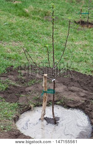 Fruit tree seedling planted in the ground and pour water step by step guide