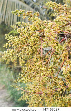 close up mango flower in nature garden