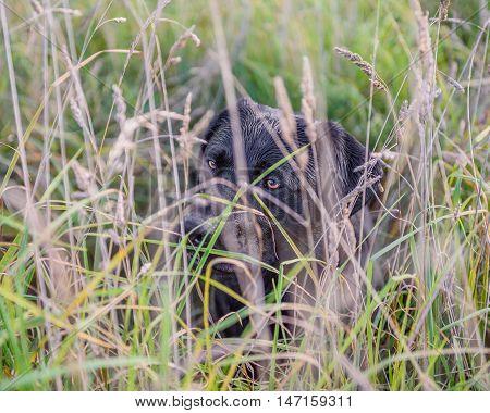 Black Labrador Retriever in long autumn grass.