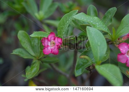 beautiful pink Azalea flowers closeup on tree in garden